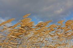 吹的金黄芦苇风 库存图片