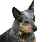 αυστραλιανό σκυλί βοοειδών Στοκ Φωτογραφίες