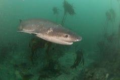 母牛鲨鱼微笑 免版税库存照片
