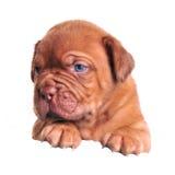 在横幅大型猛犬小狗白色之上 免版税库存照片