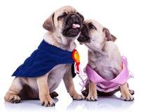 σκυλιά πρωτοπόρων που φιλούν το κουτάβι μαλαγμένου πηλού πριγκηπισσών Στοκ εικόνες με δικαίωμα ελεύθερης χρήσης