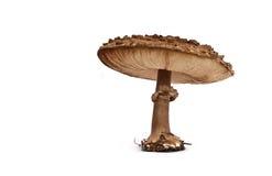蘑菇伞菌 库存照片