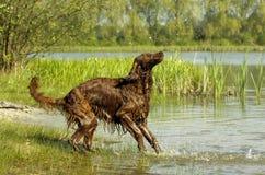 英国赤毛的塞特种猎狗 库存图片
