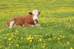 αγελάδα Στοκ Εικόνες