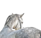 在灰色马附近软绵绵地查出的白色 免版税库存图片