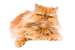 персиянка кота Стоковое фото RF