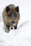 通配的公猪 免版税库存照片