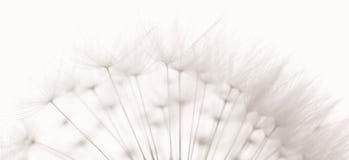 σπόροι πικραλίδων Στοκ Φωτογραφίες