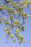 开花的槭树 免版税库存照片