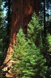国家公园美国加州红杉 免版税库存图片
