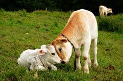 小牛母牛 免版税图库摄影