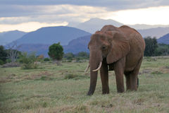 αφρικανικός ελέφαντας Στοκ φωτογραφίες με δικαίωμα ελεύθερης χρήσης