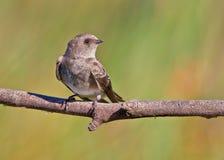 红喉刺莺棕色的马丁 免版税库存图片