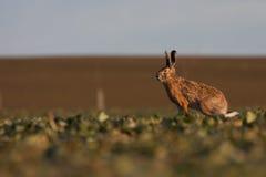 коричневые зайцы Стоковые Изображения