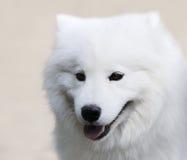 狗纵向波美丝毛狗 免版税库存图片