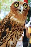 惊奇的猫头鹰 库存照片