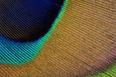 павлин пера Стоковое Изображение