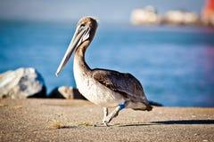 американский пеликан Стоковое фото RF