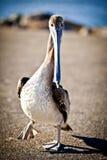 американский пеликан Стоковое Изображение