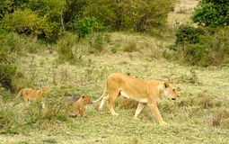львев женщины младенца Стоковые Фото