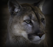 接近的美洲狮 库存图片