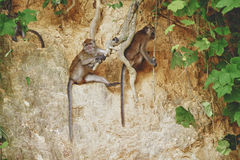 短尾猿猴子 免版税库存图片