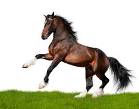 άλογο κόλπων που απομονώνεται Στοκ Φωτογραφία