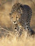 猎豹偷偷靠近 免版税库存照片
