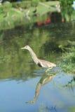 鸟中国苍鹭池塘 免版税库存照片