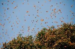 запас монарха Мексики бабочки биосферы Стоковое Изображение