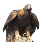 鹫 免版税库存照片