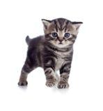 βρετανικό γατάκι σκωτσέζικα μωρών Στοκ Φωτογραφίες