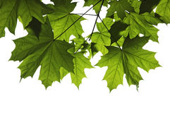 клен листьев Стоковая Фотография