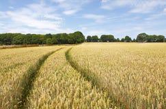 пшеница поля Стоковое Изображение
