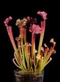 绯红色捕虫草 库存图片