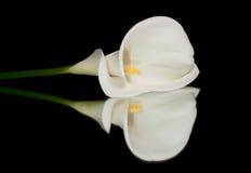 纯白的水芋属 图库摄影