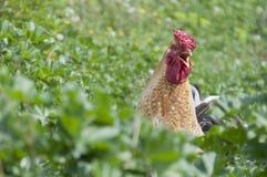 打鸣的自由愉快的范围雄鸡 免版税图库摄影