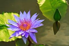 Фиолетовый лотос Стоковые Фото