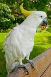美冠鹦鹉友好白色 图库摄影