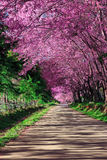 тропа вишни цветения Стоковые Фото
