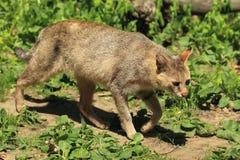 漫步猫的密林 图库摄影
