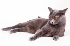Британская кошка Stock Photography