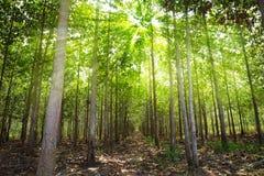 森林柚木树 库存照片