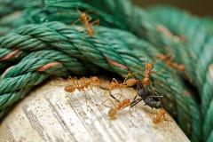蚂蚁黑色歧视 库存图片