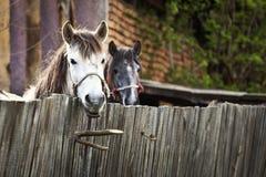 美丽的马在罗马尼亚 免版税库存图片