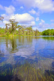 柏天然泉结构树 库存照片