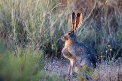 被盯梢的黑色长耳大野兔 免版税库存图片