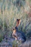 被盯梢的黑色长耳大野兔 免版税图库摄影