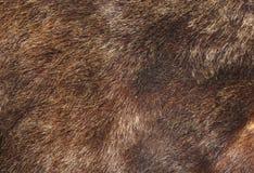 熊棕色毛皮纹理 免版税库存图片