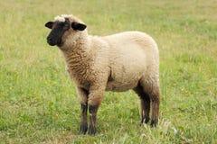 μόνα πρόβατα Στοκ φωτογραφία με δικαίωμα ελεύθερης χρήσης